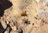 澳大黄蜂怒与高脚蜘蛛展开殊死搏斗终获胜