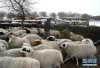 小学考试神题:船上有26只绵羊10只山羊 船长几岁