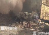 南京一动物园内瘸腿狼引网友担心 已被送医救治