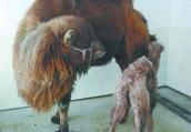 """亚布力熊猫馆 骆驼生出""""长腿宝""""刚出生就1.2米高"""