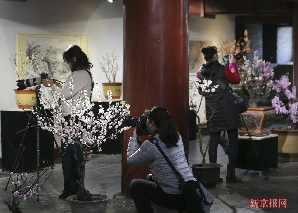 北京明城墙梅花开了