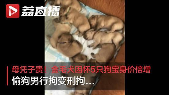 澳门银河网址:金毛犬因怀5只狗宝身价倍增 偷狗男行拘变刑拘