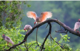 李克强访日送了一对朱鹮 你知道这种鸟对日本人意味着什么吗?