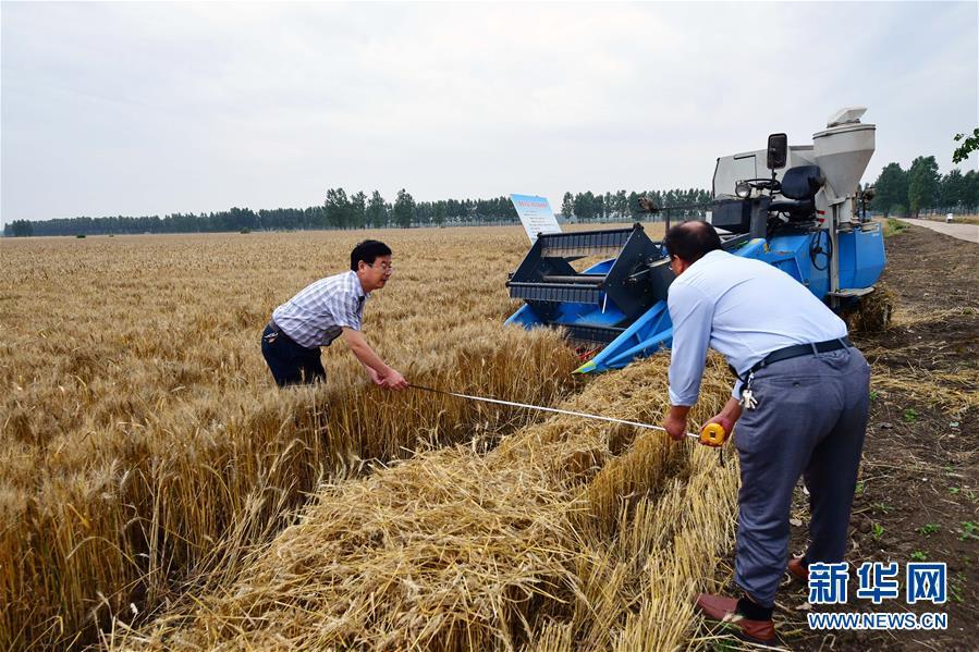 (科技)(1)我国杂交小麦研发进入大田应用和产业化阶段