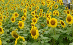 40亩向日葵开放