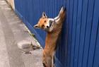 蠢萌狐狸翻栅栏被困