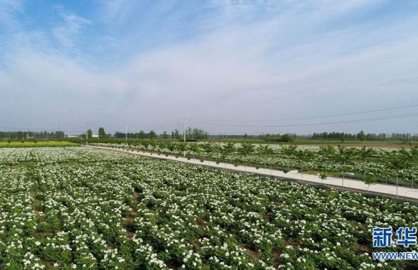 河南宝丰:300亩油牡丹竞相绽放