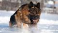 大连市公安局收容烈性犬68只流浪犬156只