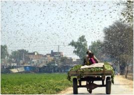 巴基斯坦蝗灾区情况严重 会危及中国吗?