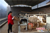 叶县陈翠芹:发展养羊业 实现脱贫梦
