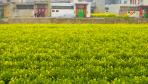 郑州:油菜花海点缀春光