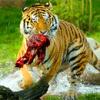 老虎伤人调查结果