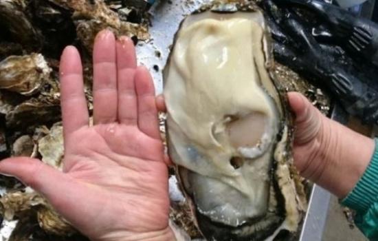 日本 福岛/近日在受福岛核泄漏影响的日本宫城县地区,有日本渔民意外发现...