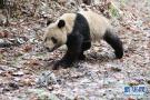 大熊猫回归大自然