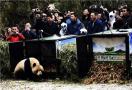"""大熊猫""""八喜""""""""映雪""""正式放归大自然"""