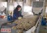洛阳市孟津县:艾草铺就致富路