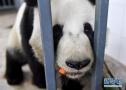 大熊猫的冬天都咋过?