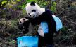 """成都多只大熊猫""""黑眼圈变白"""" 医学专家正会诊"""