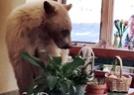 小棕熊入室盗窃偷吃