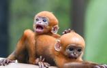 国家一级珍稀保护动物黑叶猴诞下龙凤胎