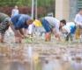 青岛海水稻插秧
