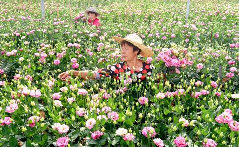 淄博:盛夏花卉采收忙