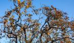 鲁山:红石崖柿子丰收待售