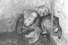 """狼妈生三只狼宝宝 用自己的身体温暖""""孩子""""们"""