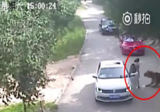 北京八达岭野生动物园老虎伤人事件仍