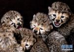 荷兰希尔法伦贝克 工作人员给一只猎豹幼崽除虫