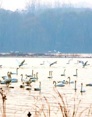 """河南三门峡:黄河上的""""天鹅湖"""""""