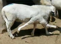 """收来""""六腿羊""""发网上展示 有人看到高价买走当宠物"""