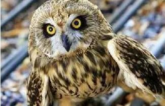 短耳鸮(xiāo)