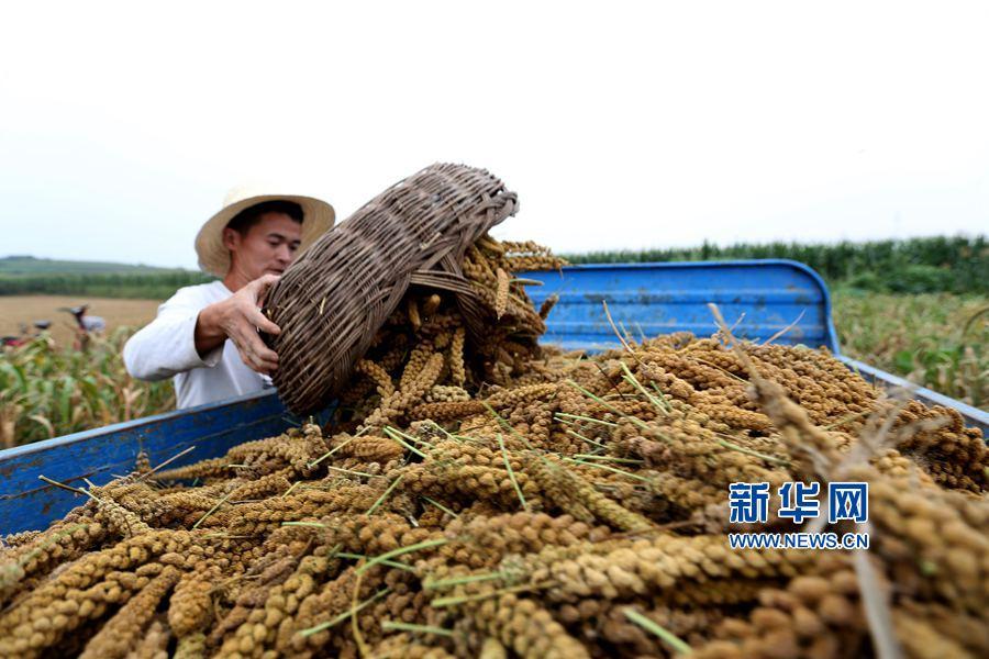2017年8月27日,河南省安阳市龙安区马投涧镇高白塔村,村民高大帅正在往车厢里倒谷穗。