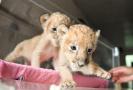 狮子双胞胎呆萌可爱