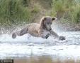 抓鱼玩水傻傻分不清 棕熊捕鱼惨跌倒窘态十足