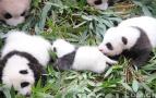 36只熊猫宝宝齐亮相