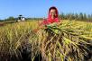 农业绿色发展之路:秋粮丰收看农业供给侧结构性改革