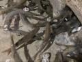 农户家里挖出神秘鱼泉暴富 凭空一天涌出千斤鱼