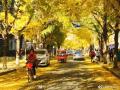 最爱北京的秋 满地金黄