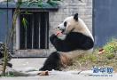 """大熊猫""""暖暖"""""""