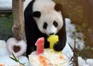 旅马大熊猫诞下第二只宝宝