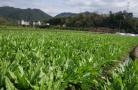 南通5家供滬蔬菜基地掛牌 與上海實現生産銷售數據共用