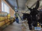 内蒙古赤峰:养驴脱贫 增收致富