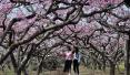 十里桃花醉西华 这里有最美的春天