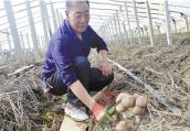 秸秆变废为宝种出蘑菇 平顶山大球盖菇试种成功