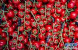 西红柿有助降低高血压和高胆固醇 生吃还是熟吃?