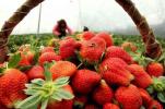 """草莓被评为""""最脏水果""""还能放心吃吗?"""