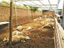 山东百只羊吃大葱中毒死亡 两种植户获刑7个月和6个月
