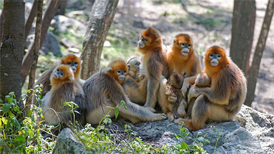 陕西宁陕 诞生6只川金丝猴 数量达120多只